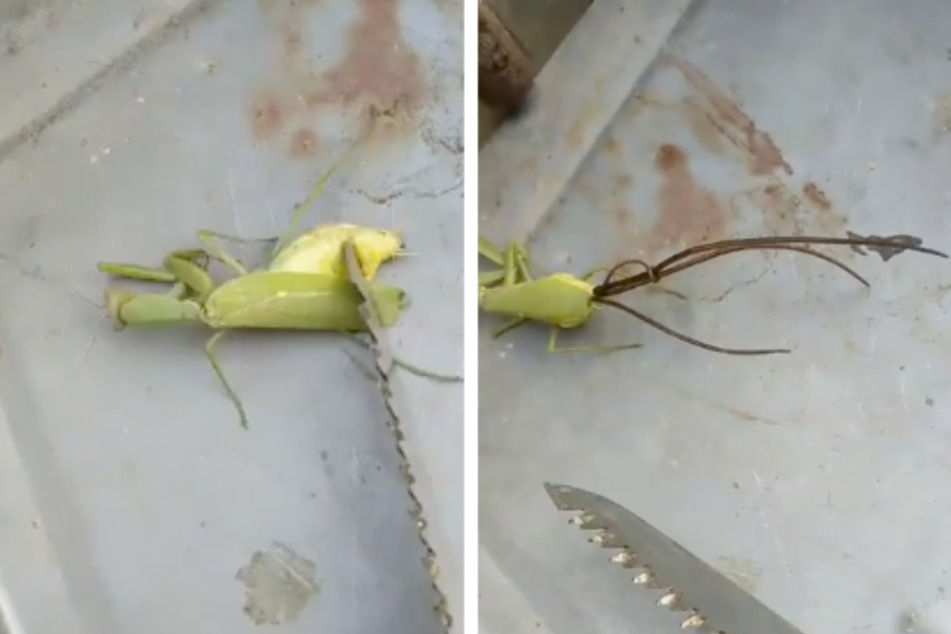 Mysterious creature crawls out of dead praying mantis