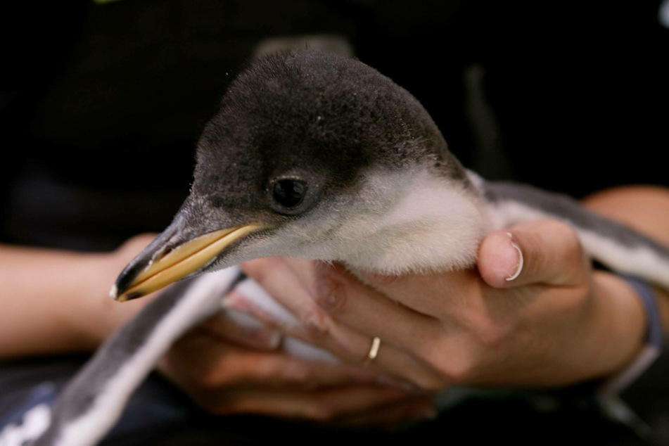 A penguin chick is held by a keeper at Sydney s Sea Life Aquarium