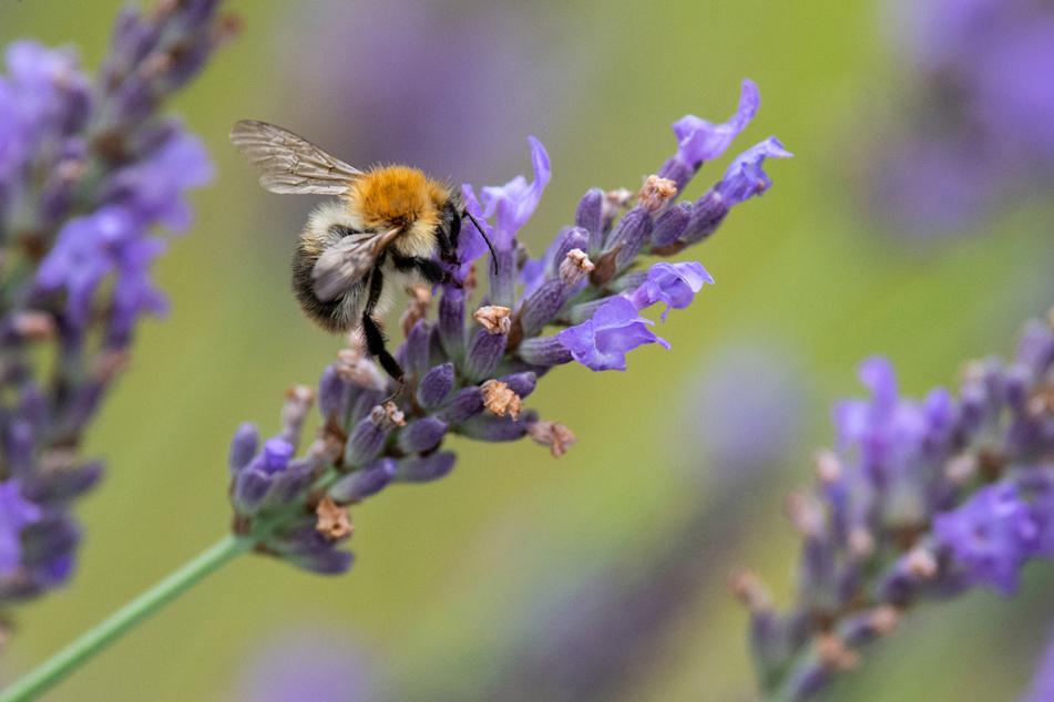 Hummeln und andere Insekten fliegen von Blüte zu Blüte. Dahingehend schaut's in Steingärten eher mau aus. (Symbolbild)