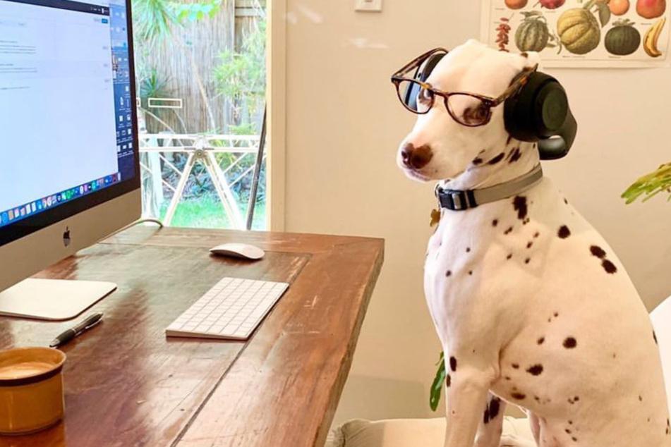 Süßer Trend: Besitzer zeigen ihre tierischen Mitarbeiter im Home-Office