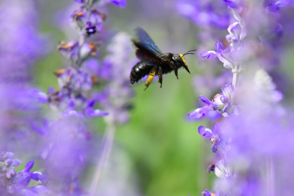 Eine Wildbiene sucht an Blüten des Mehlsalbeis nach Nektar.