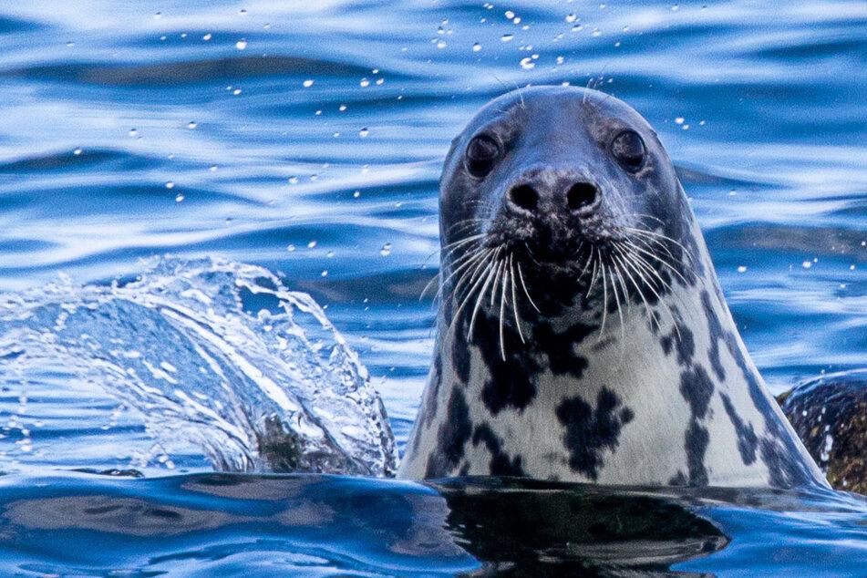 Tierquälerei! Touristen prügeln Robbe ohnmächtig und machen Selfies