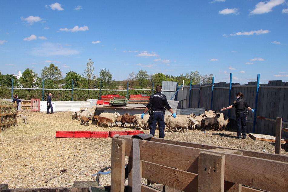 Polizisten treiben die illegal auf dem Gelände eines Palettenhandels gehaltene Schafherde zusammen.