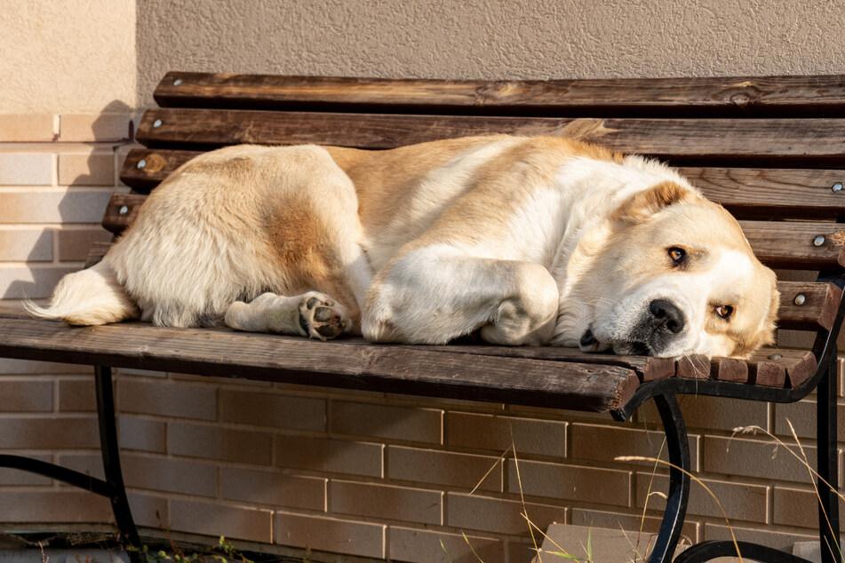 Todtrauriger Hund stirbt fast vor Sehnsucht, weil sein Besitzer nicht da ist