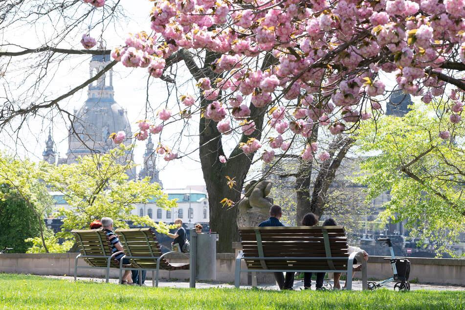 Dresdner sitzen hinter einer Zierkirsche am Ufer der Elbe auf einer Bank.