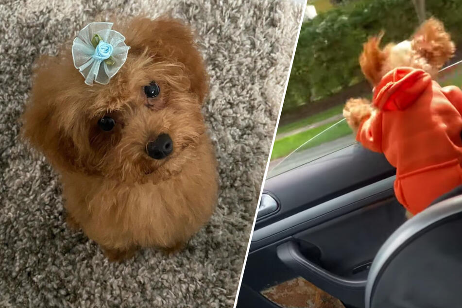 Doggone with the wind! Woman gets fright of a lifetime on a drive with her pet poodle