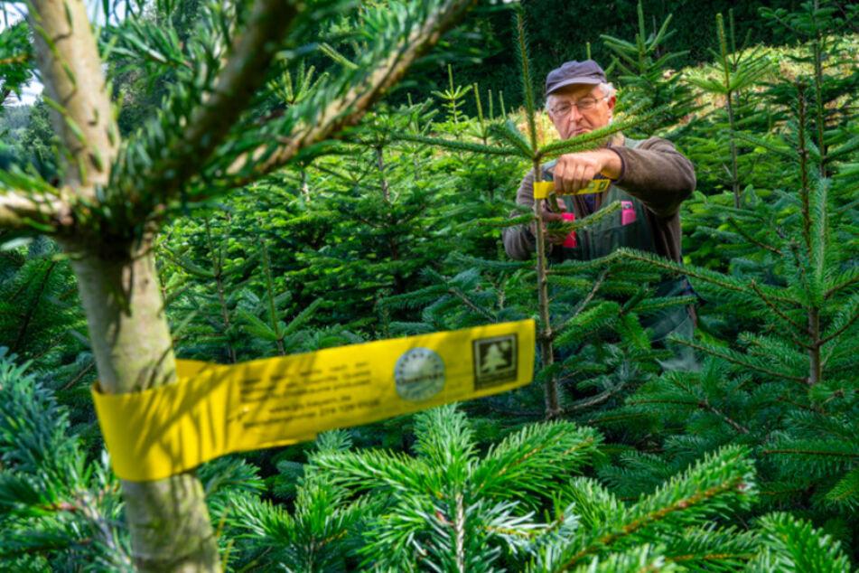 Thomas Emslander, Vorsitzender des Vereins Bayerische Christbaumanbauer, arbeitet knapp vier Monaten vor Weihnachten in einer seiner Nordmanntannen-Plantagen.