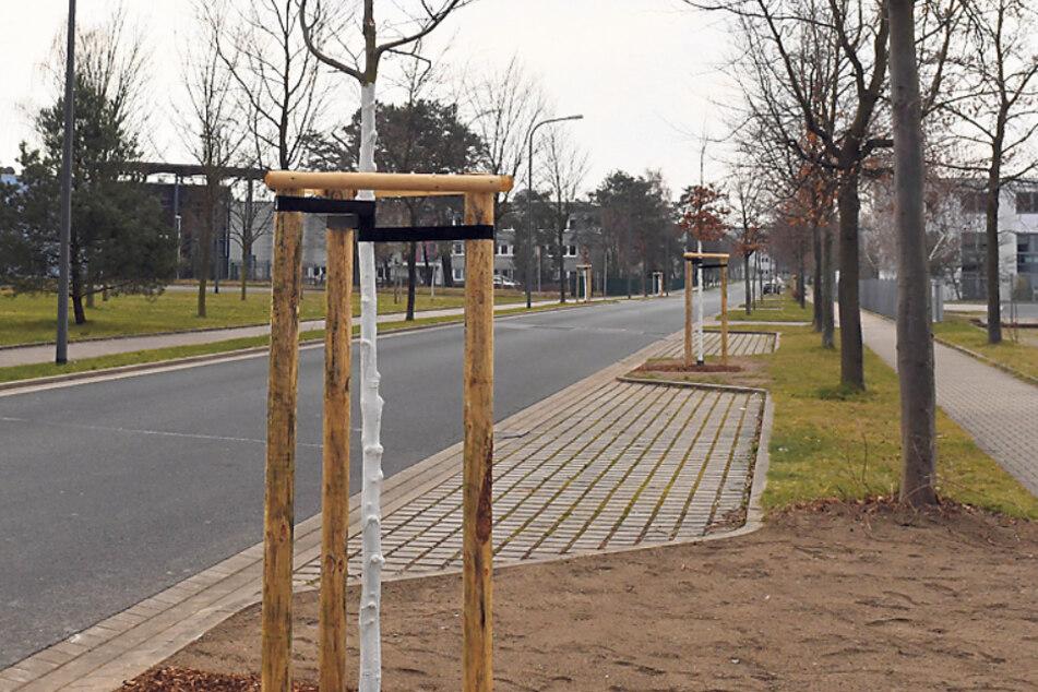 Dresden will bis zum Frühjahr 600 neue Bäume pflanzen.