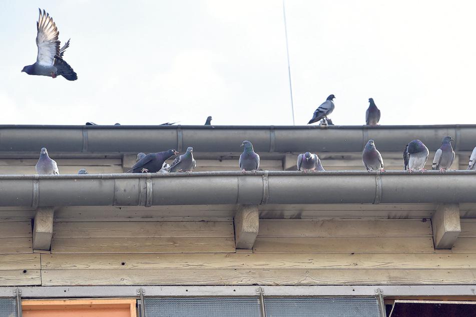 Tauben vermehren sich rasant. Das soll verhindert werden.