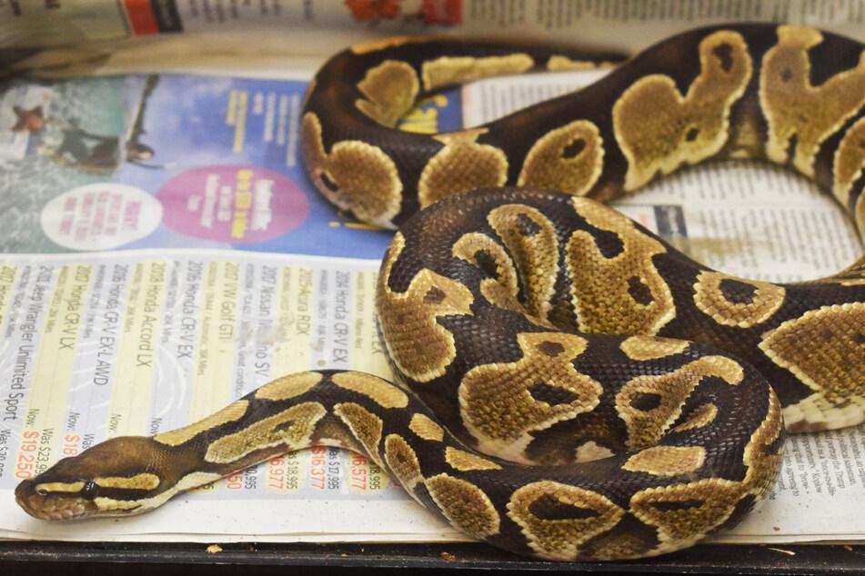Schlange auf Insel gefunden, doch ihr Lebensraum ist ganz woanders