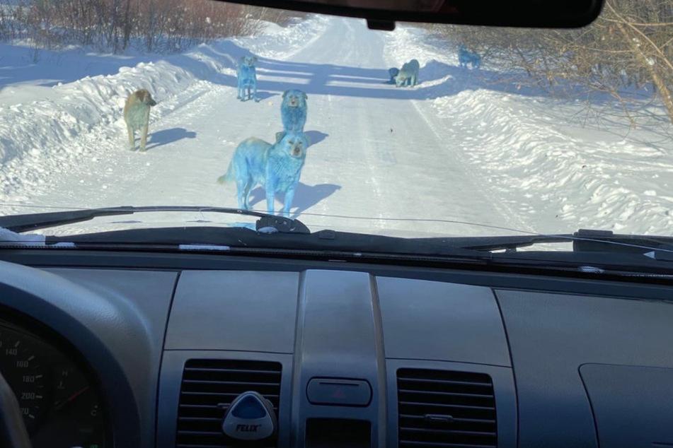 In Dzerhinsk wurden erstmal Hunde mit blauem Fell entdeckt.