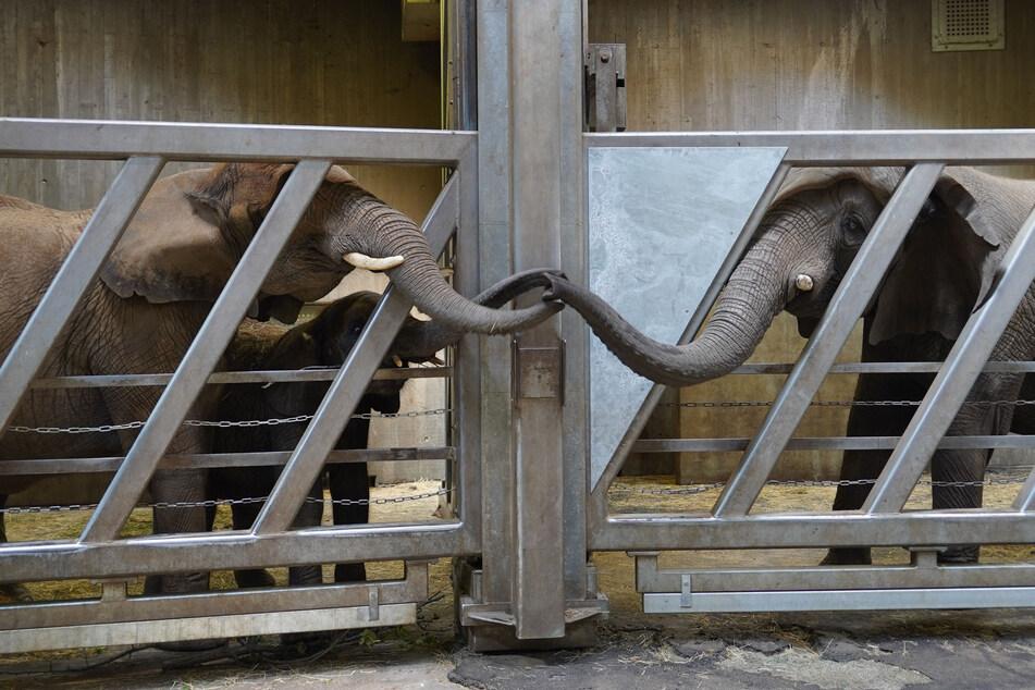 Wieder vereint nach 12 Jahren: Elefantenmutter trifft im Hallenser Zoo auf Tochter