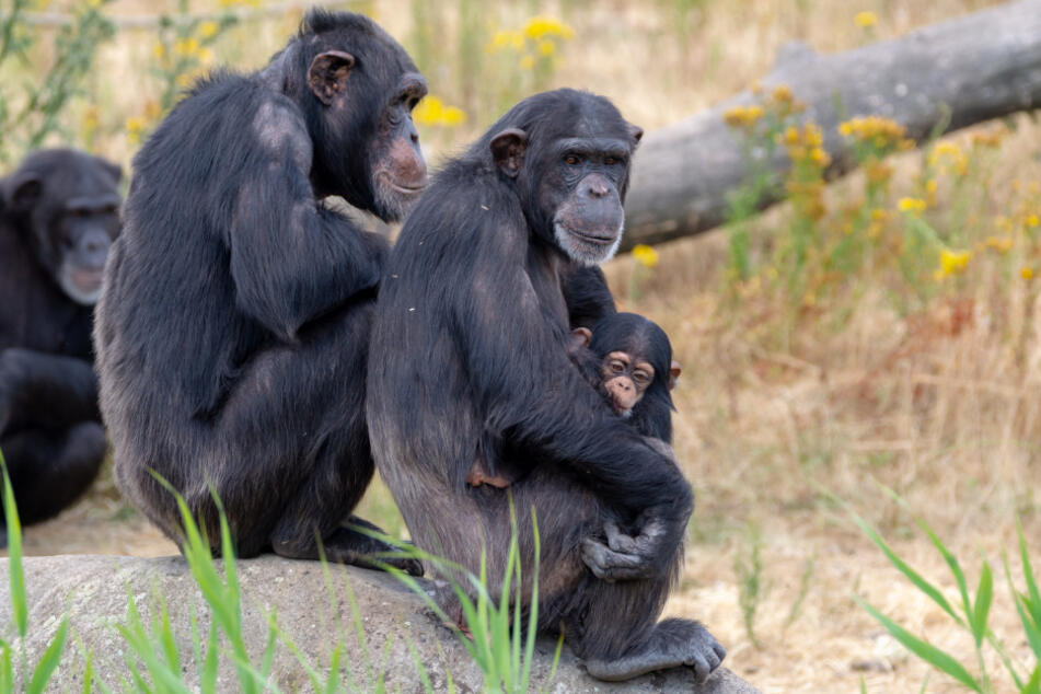 Forscher entdecken an Lepra erkrankte Schimpansen im Dschungel