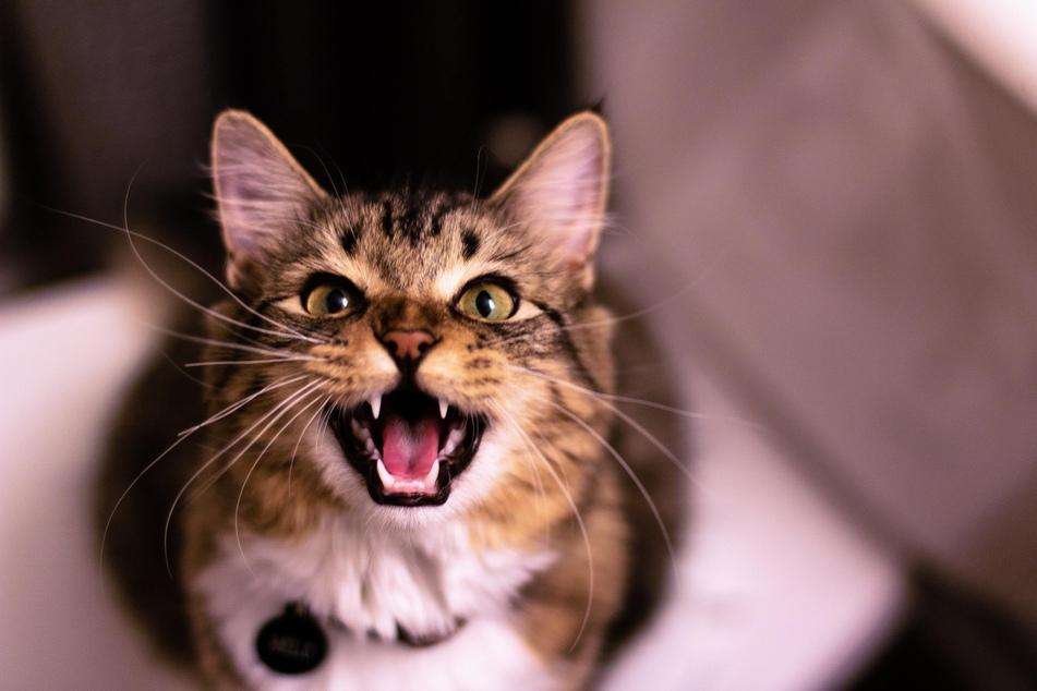 Nicht jede Katze ist von dem neuen selbstgemachten Futter begeistert.