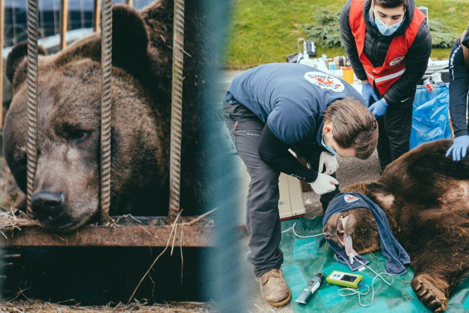 Bär Mykhailo verletzte sich schwer. Tierschützer versuchen den Bären zu retten.