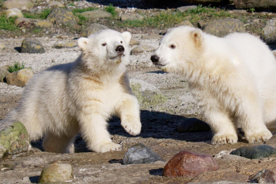 Wie im Märchen! So heißen die Eisbär-Zwillinge in Bremerhaven