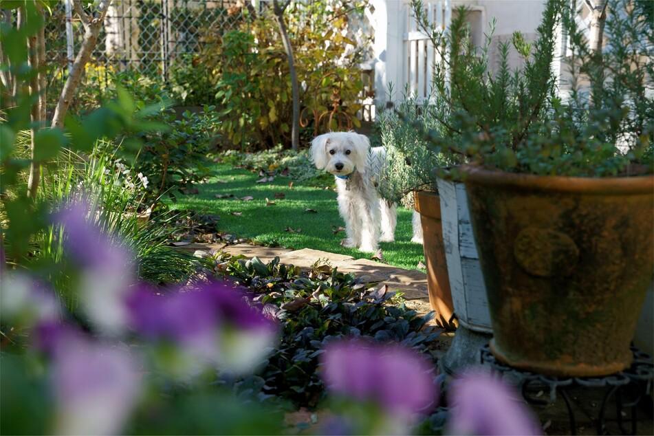 """""""Du kommst hier nicht rein!"""" - Hunde müssen lernen, auch im Garten Tabuzonen zu respektieren"""