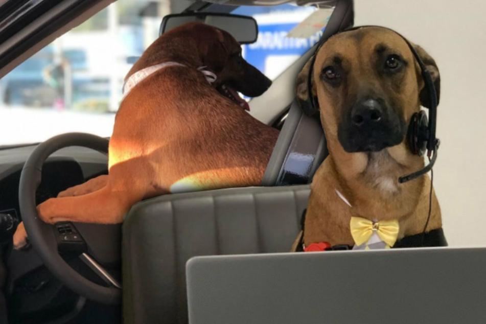 Hund wird Angestellter bei einem Autohändler, der Grund ist herzzerreißend