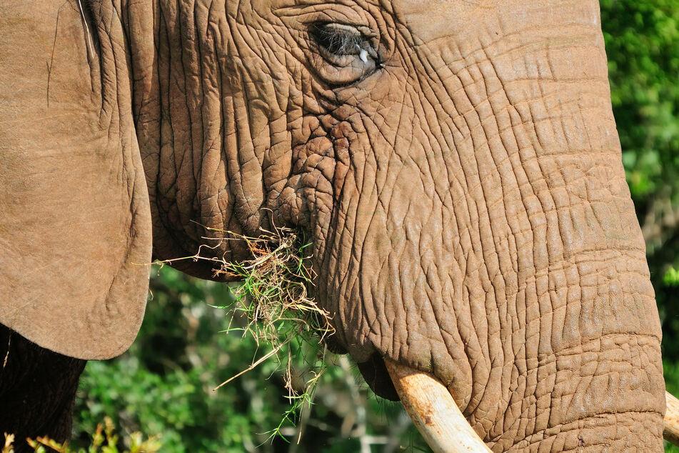 Forest elephants belong to the genus of African elephants.