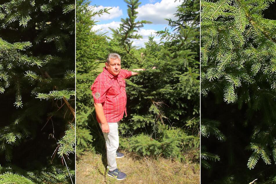 """Ronny D. (47) zeigt den Rest der vier Meter hohen Fichte. Zwar sägte der Täter den Baum nicht komplett ab. Aber mit dem """"Einschnitt"""" hielt er dem nächsten Sturm nicht stand."""