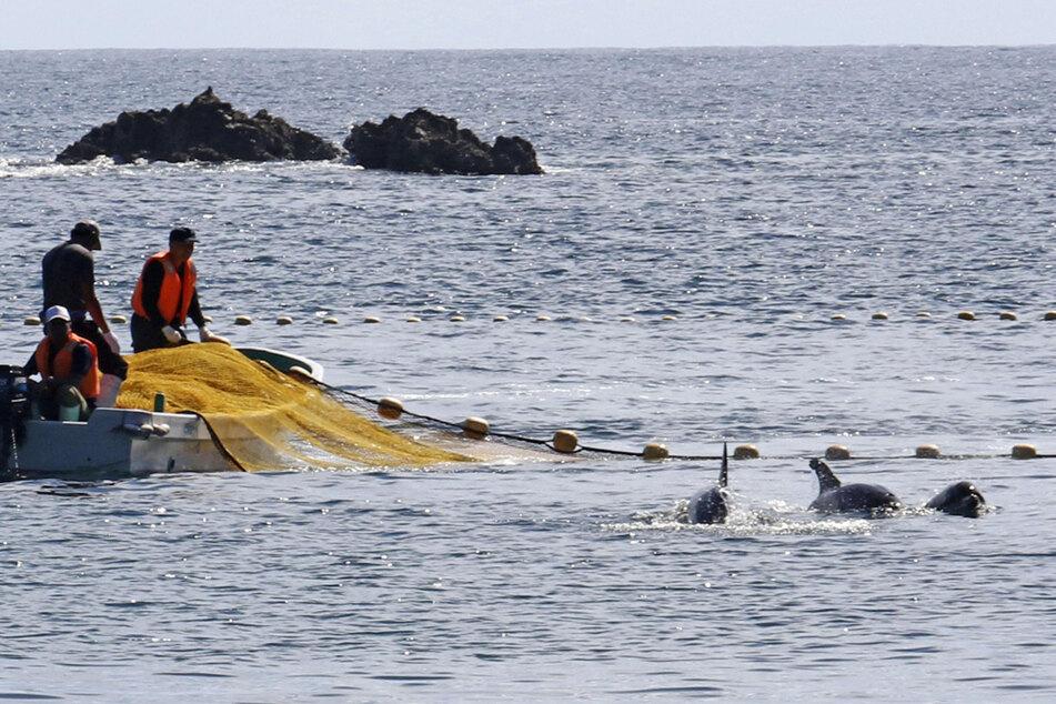 In den Gewässern vor Taiji findet die erste Treibjagd der Saison auf Delfine und andere Kleinwale statt.