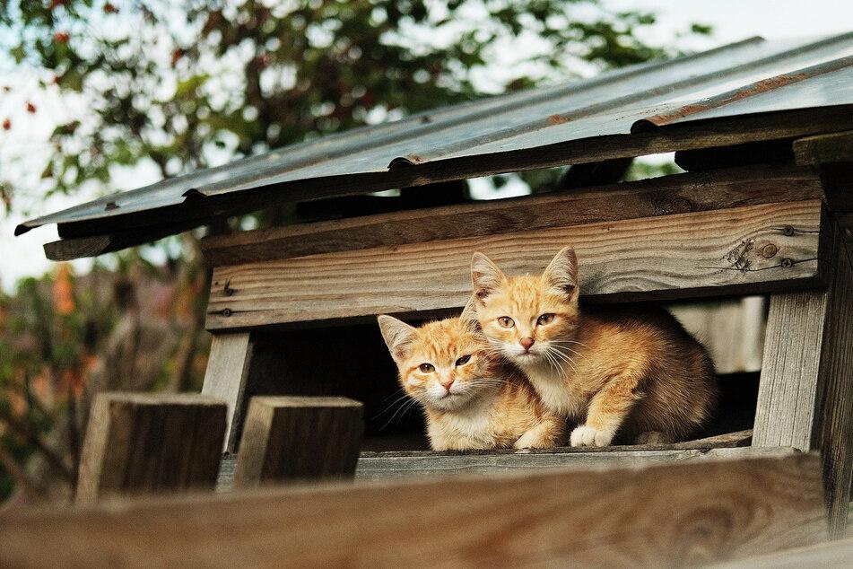 Zwei Katzen schauen vorsichtig aus einem Baumhaus heraus. (Symbolbild)