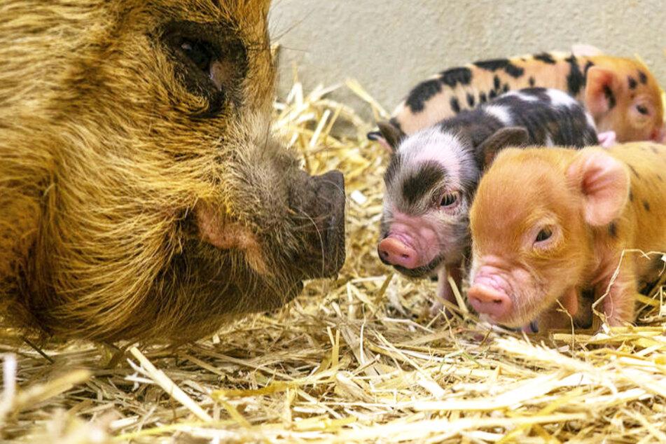 Zuckersüßer Nachwuchs: 13 Gründe, warum im Schweinestall richtig was los ist