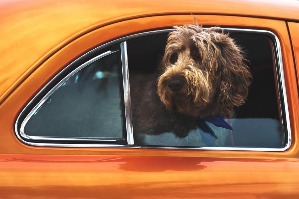 Den Hund ungesichert bei offenem Fenster mitnehmen? Keine gute Idee!