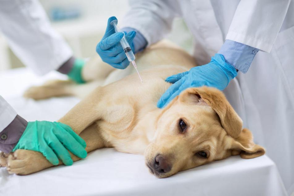 Ein kleiner Pieks mit großer Wirkung: Eine Tollwutimpfung kann ein überlebenswichtiger Schutz für den Hund bedeuten.