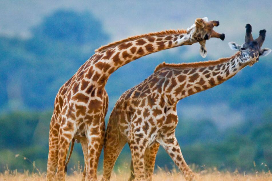 In diesem Hotel kann man mit Giraffen speisen, aber es gibt ein Problem