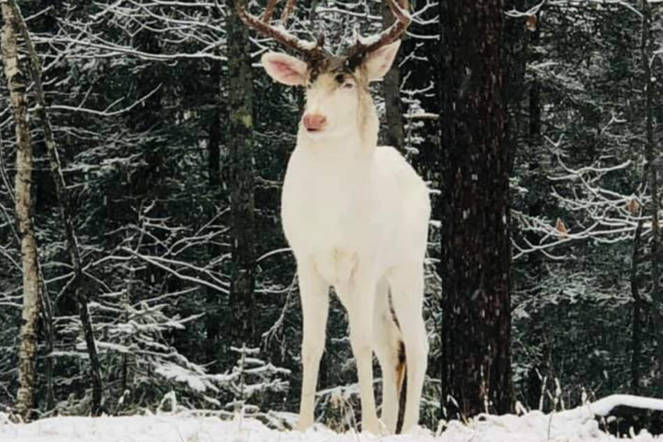The majestic albino buck is incredibly rare.