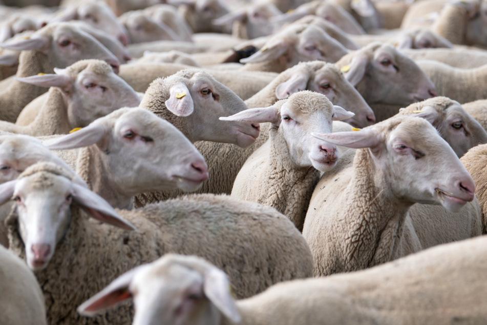 Abgemagert und verwahrlost: 22 Schafe und ein Lamm müssen vor Tierquäler gerettet werden