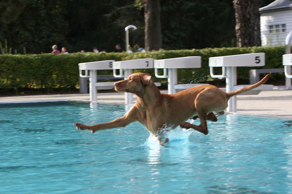 """Wau! Hier fliegt """"Spike"""" (Magyar Vizsla) förmlich übers Wasser."""