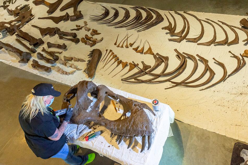 Eine Museums-Mitarbeiterin arbeitet an einer reproduzierten Schädelhälfte eines Tyrannosaurus rex. Über 300 Knochenteil in verschiedenen Größen müssen wissenschaftlich bearbeitet, bestimmt und montiert werden.
