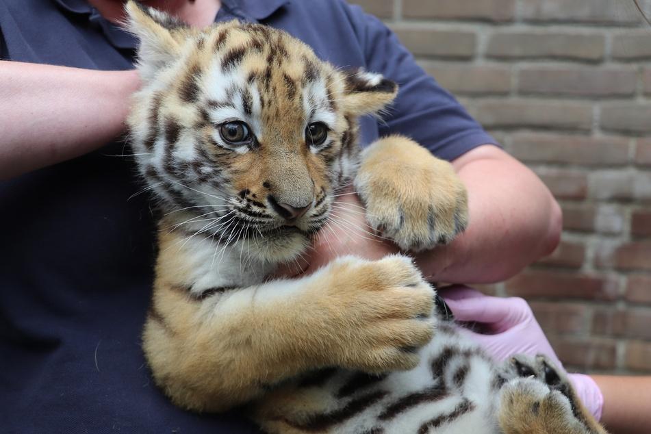 Ein Zoo-Mitarbeiter hält eines der beiden Tigerbabys in den Armen.