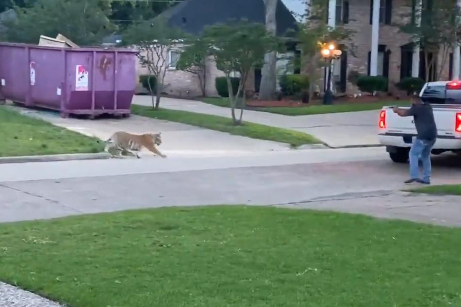 Mit einer Pistole und lautem Rufen versucht ein Mann, den Tiger auf Abstand zu halten.