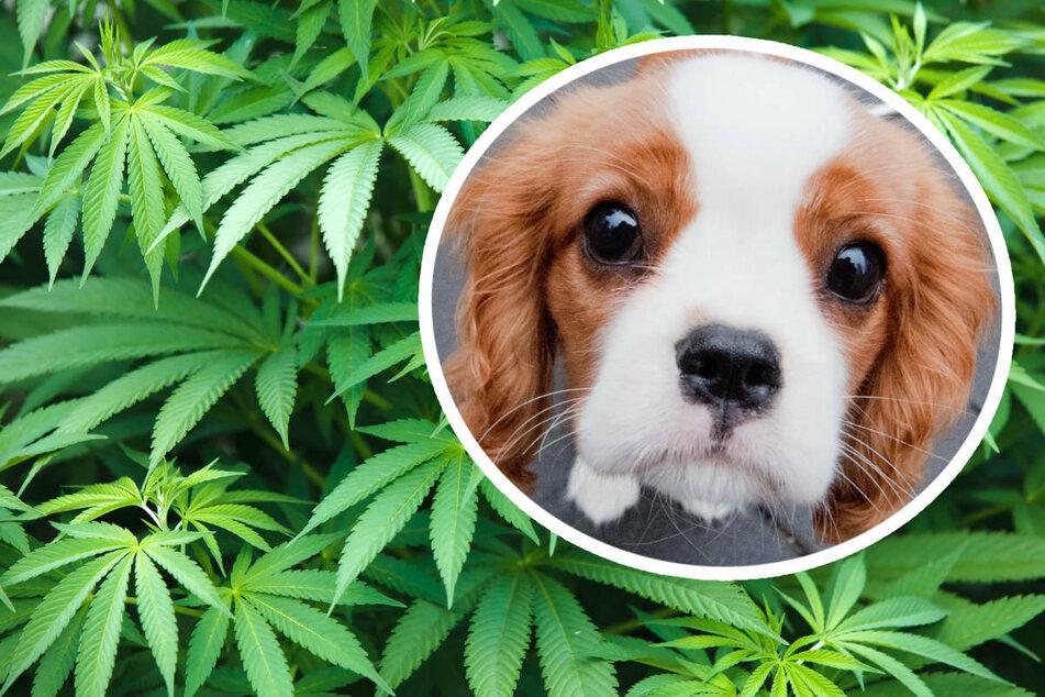 """""""Chill mal"""": So reagieren Vierbeiner auf den Konsum von Cannabis und Co."""