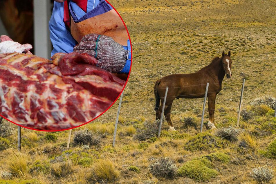 Hohe Prämie für Pferde-Adoption: Retter schlachten die Tiere nach der Zahlung ab!