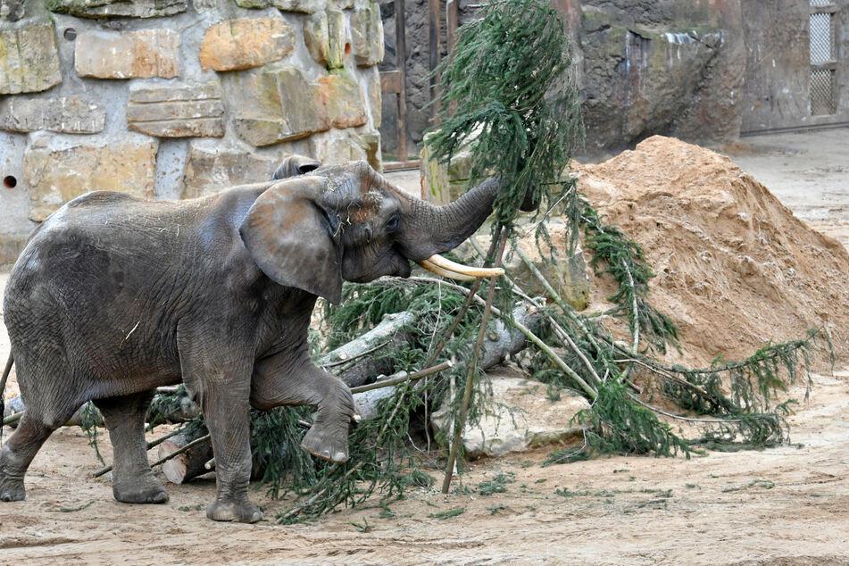 WTC-Fichte schmeckt den Elefanten.