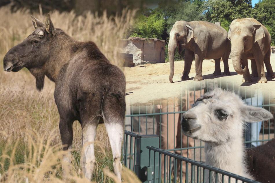 Tierisch was los trotz Besuchsverbot: Das passiert gerade in Sachsens Zoos