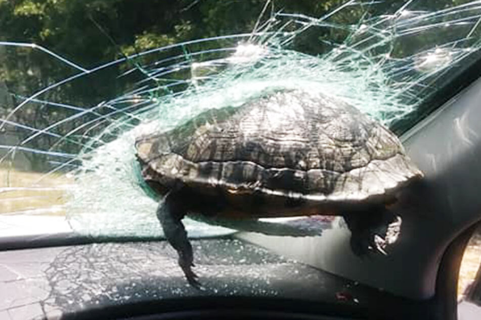 Die Schildkröte steckte in der Frontscheibe des Autos fest.