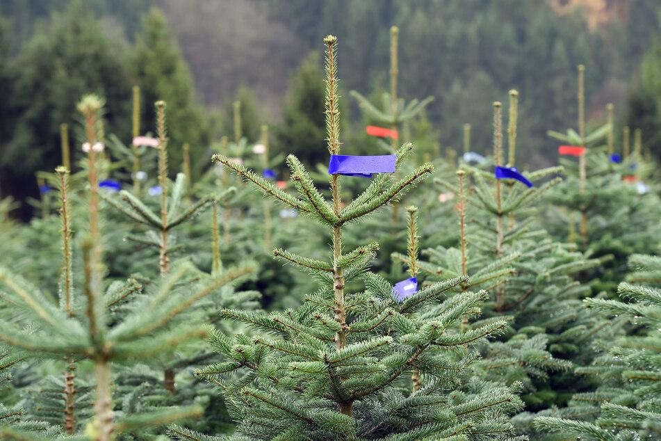Nordmanntannen, die als Weihnachtsbäume verkauft werden sollen, stehen nebeneinander auf einem Hang.