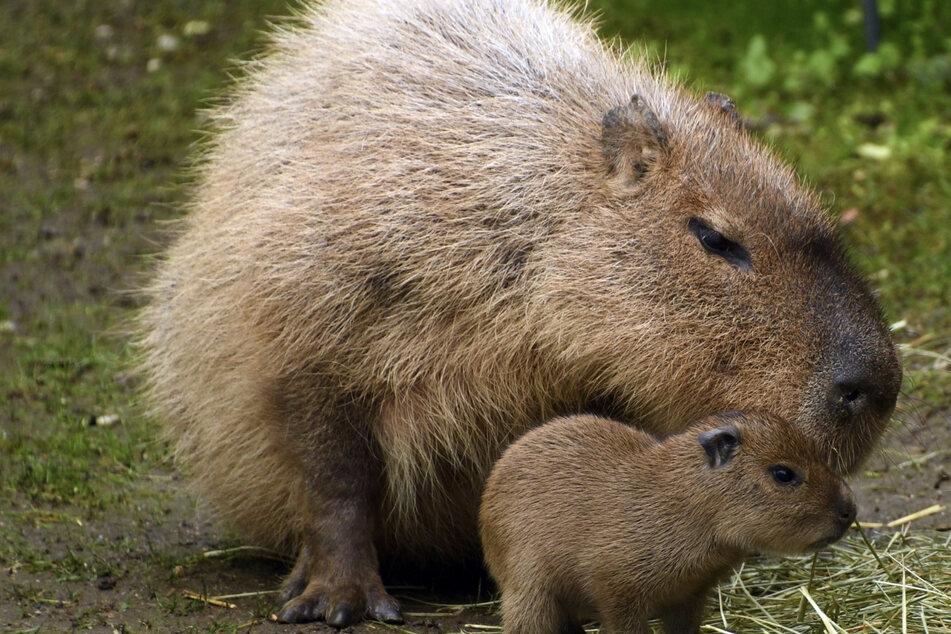 Sehen aus wie riesige Meerschweinchen: Die Capybaras aus dem Zoo in Leipzig.