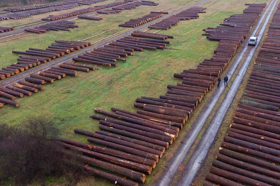 Besondere Auktion gestartet: Waldbesitzer versteigern wertvolle Bäume