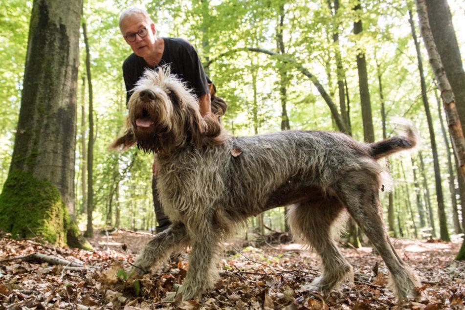 Hundeführer sollen mit ihren eigens ausgebildeten Seuchenhunden im Landkreis Spree-Neiße nach toten Wildschweinen suchen.