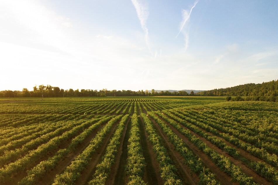 Durch die Grenzschließungen können die Feldarbeiter aus Osteuropa nicht mehr einreisen. Für die anstehende Spargel-Ernte werden aber dringend Erntepflücker gesucht.