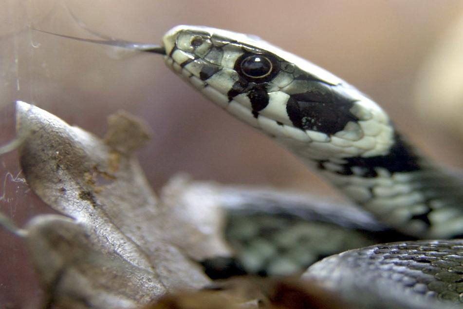 In Zwickau wurde in einem Mehrfamilienhaus mehrfach eine Schlange gesichtet. Der vermeintliche Exot stellte sich schließlich als Ringelnatter heraus. (Symbolbild)