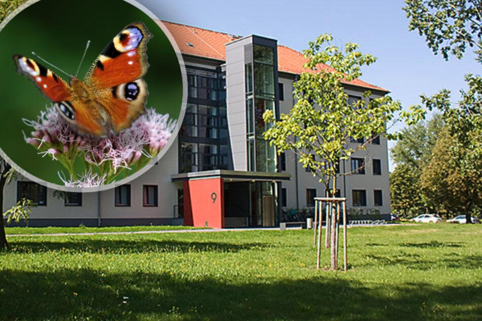 Chemnitz: Damit Chemnitz mehr Schmetterlinge bekommt: Uni legt Blühwiesen an