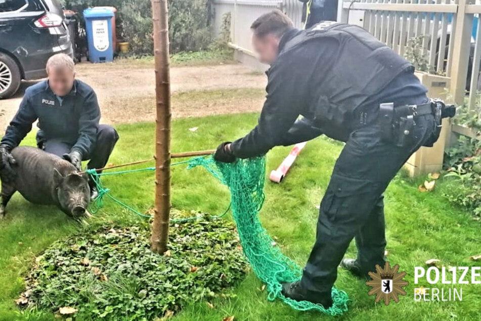 Hier verrichten zwei Berliner Polizisten im wahrsten Sinne des Wortes saumäßige Arbeit.