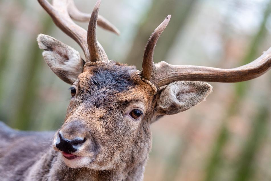 Neben Wildschweinen und Wölfen kann man im Wildgatter auch Hirsche beobachten.